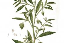 Plant-Illustration-of-Cutleaf-Ground-Cherry