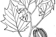 Sketch-of-Cutleaf-Ground-Cherry