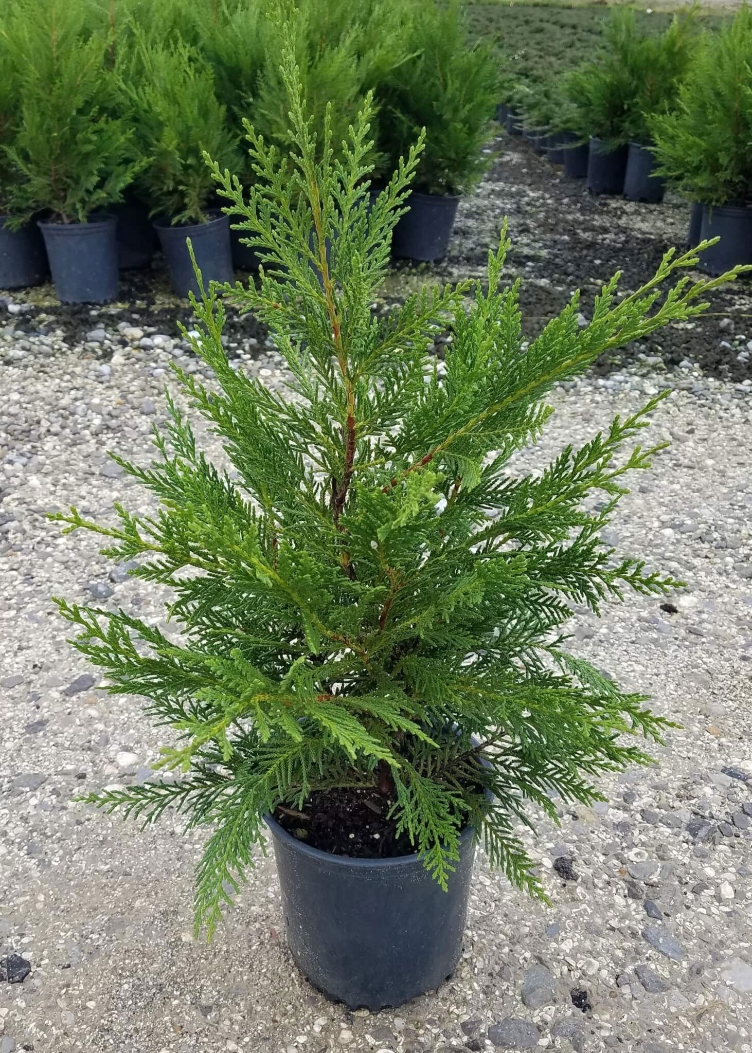 Cypress-plant-grown-on-the-pot
