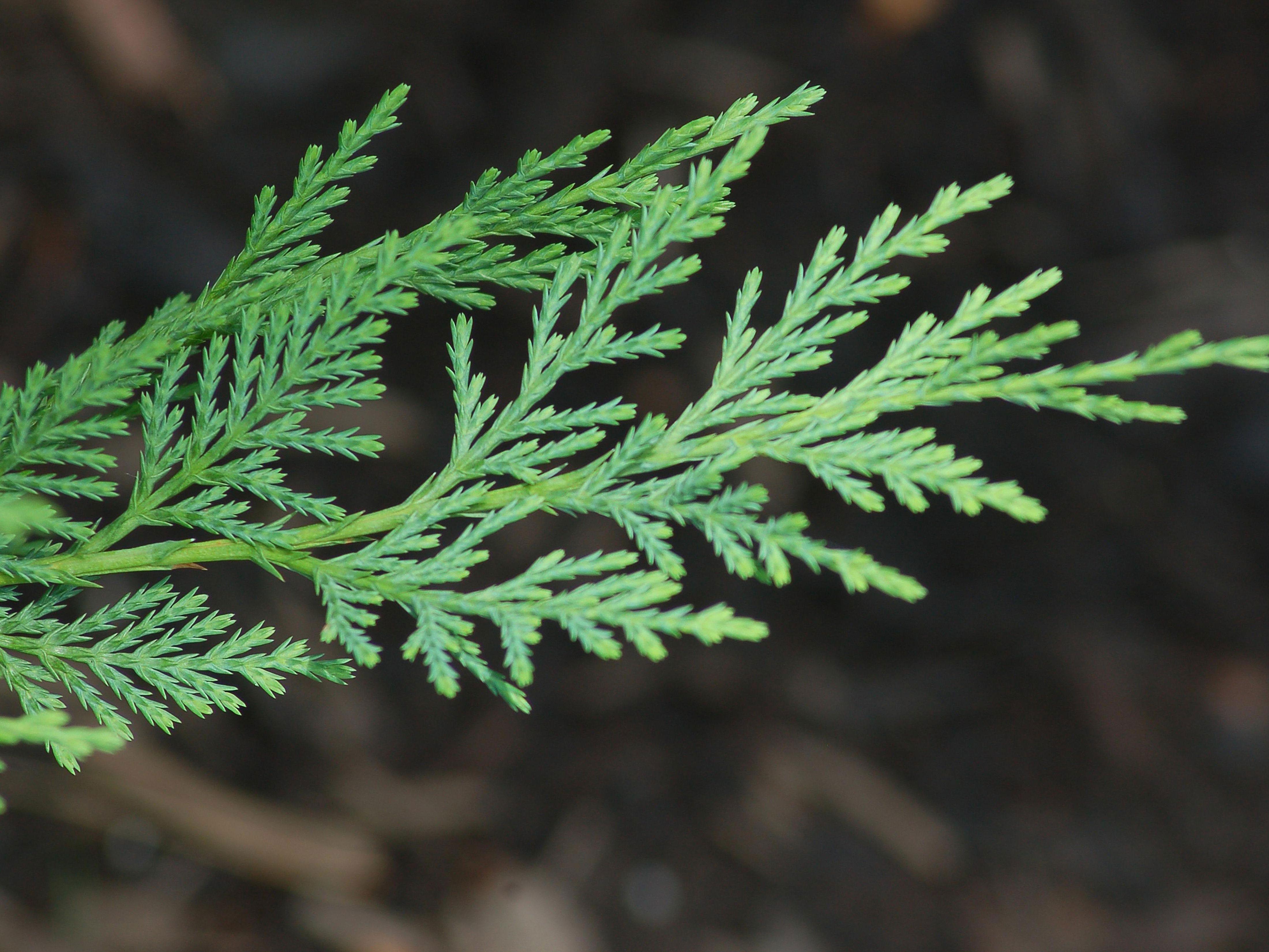 Leaves-of-Cypress