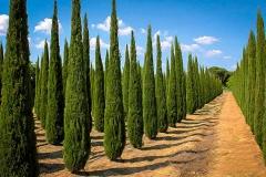 Cypress-Plant