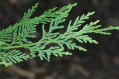 Leaves-of-Cypress