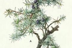 Plant-Illustration-of-Cypress