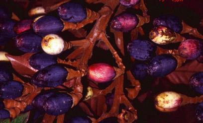 Dabai-fruit