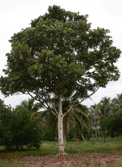 Dabai-tree