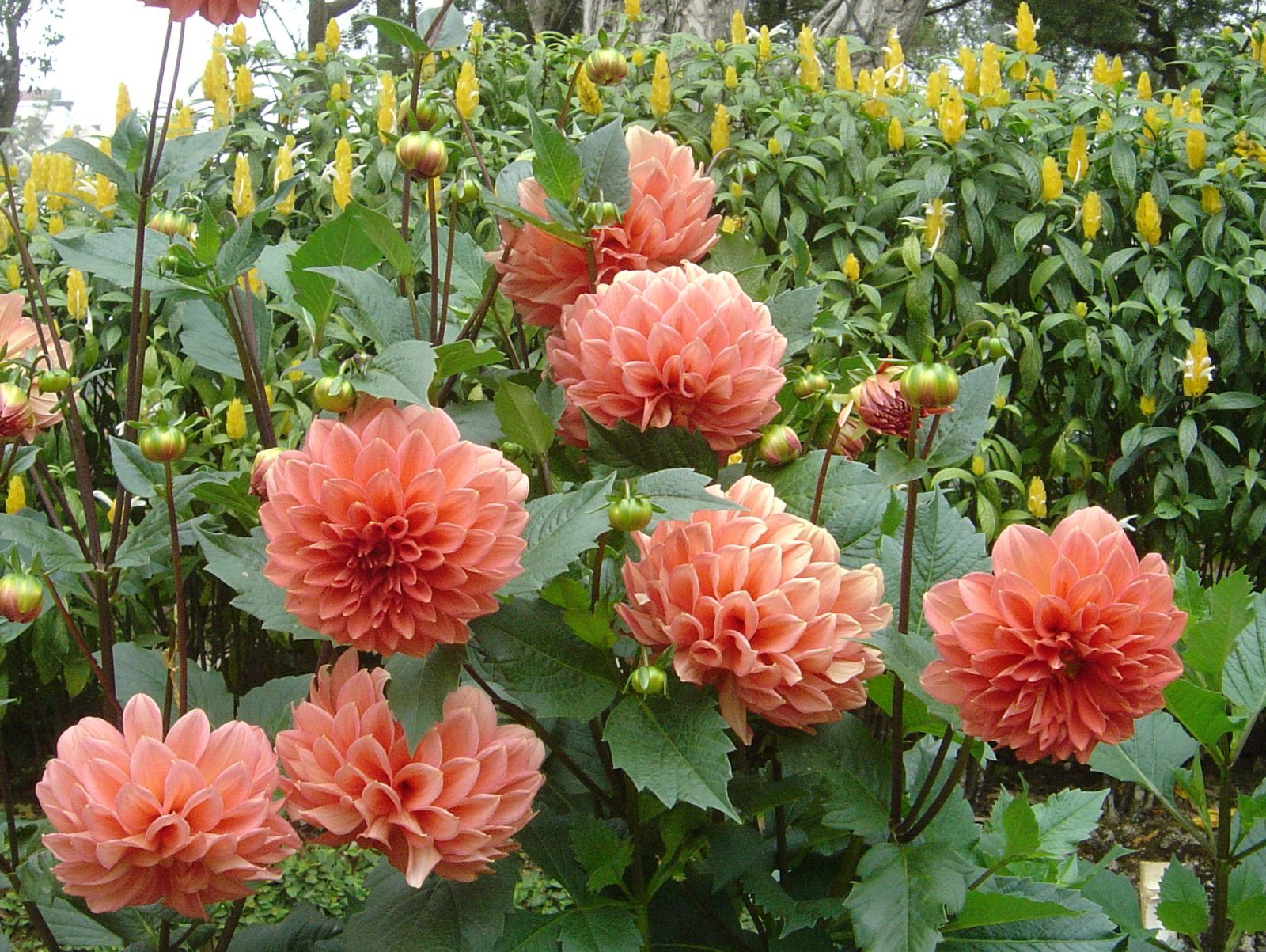 Dahlia Facts And Medicinal Uses
