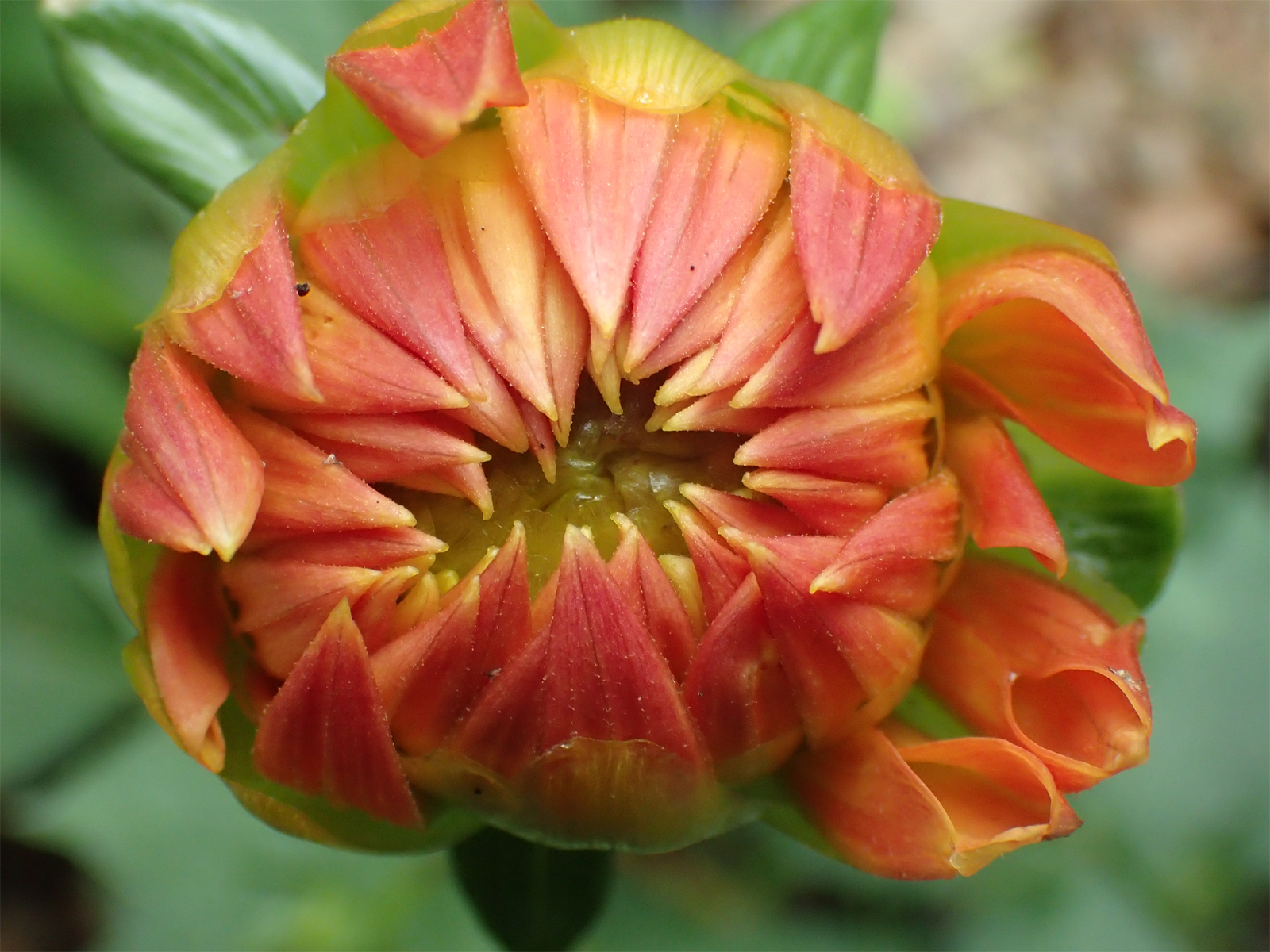 Dahlia facts and medicinal uses opening dahlia flower izmirmasajfo