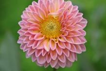 Close-view-of-Dahlia-flower