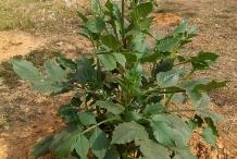 Dahlia-plant