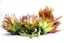 Dried-Dahlia-flower