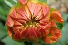 Opening-Dahlia-flower