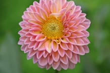Close-view-of-Dahlia-flower