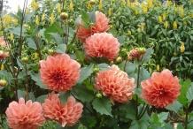 Dahlia-flowers