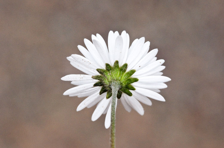 Back-view-of-Diasy flower