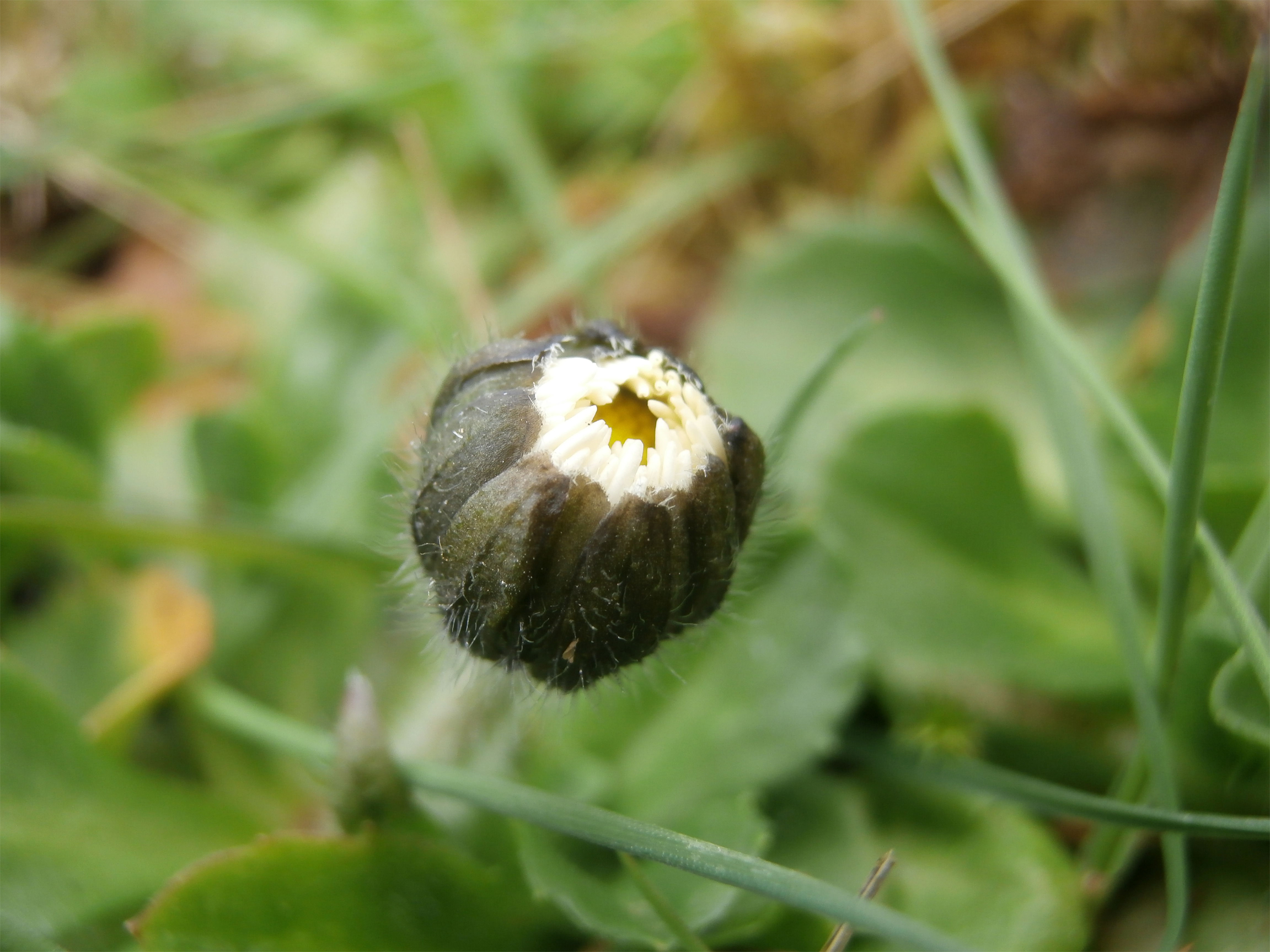 Top-view-of-Daisy-bud