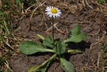Daisy-plant