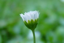Daisy-bud