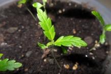 Damiana-plant