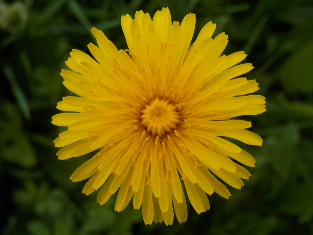Close-up-flower-of-Dandelion-