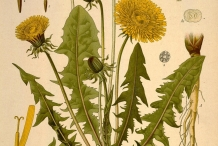 Plant-illustration-of-Dandelion-greens