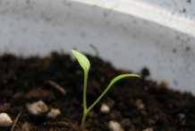 Seedlings-of-Dandelion-greens