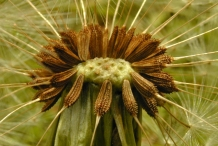 Seeds-of-Dandelion