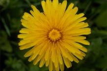 Close-up-flower-of-Dandelion-