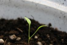 Seedlings-of-Dandelion-greens