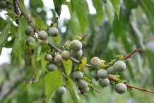 Unripe-Date-plum-fruits-on-the-plant