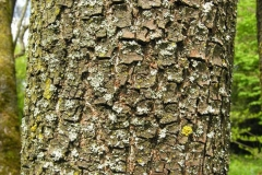 Bark-of-Date-plum