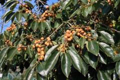 Date-plum-tree