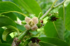 Flower-of-Date-plum
