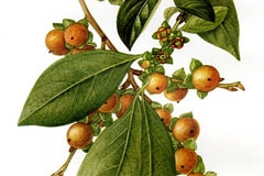 Plant-Illustration-Date-plum
