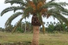 Dates-tree