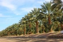 Dates-farm