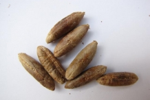 Seeds-of-Dates
