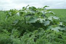 Datura-Plant-growing-wild