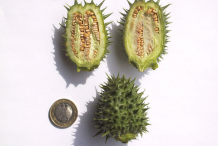 Half-cut-Unripe-fruit