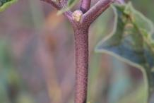 Stem-of-Datura-plant