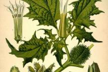Plant-illustration-of-datura