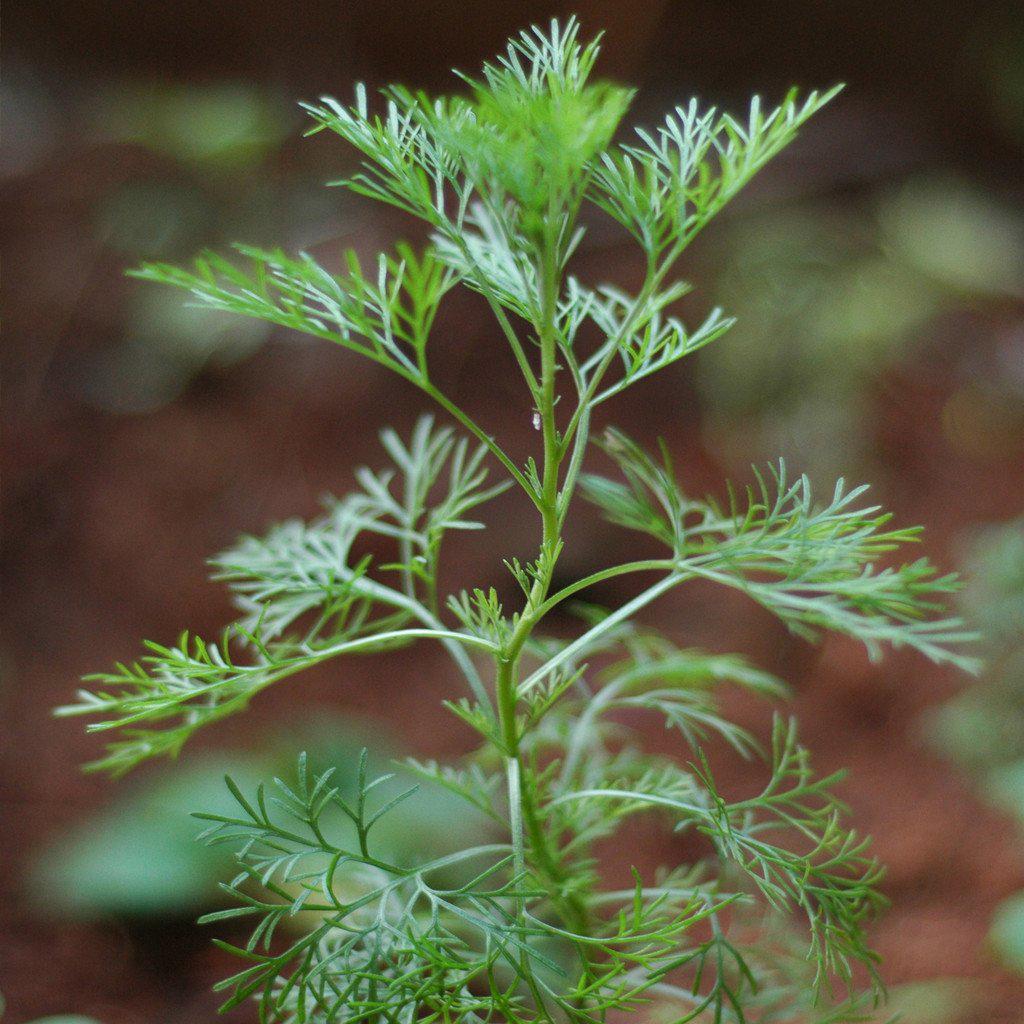 Davana-leaves