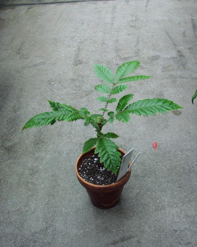 Davidson-plum-plant