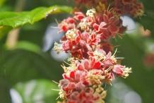 Davidson-plum-close-up-flower