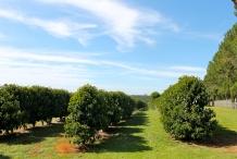 Davidson-plum-farm