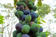 Davidson-plum-fruit