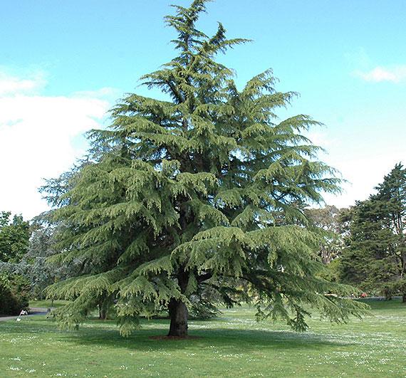 Deodar-Tree