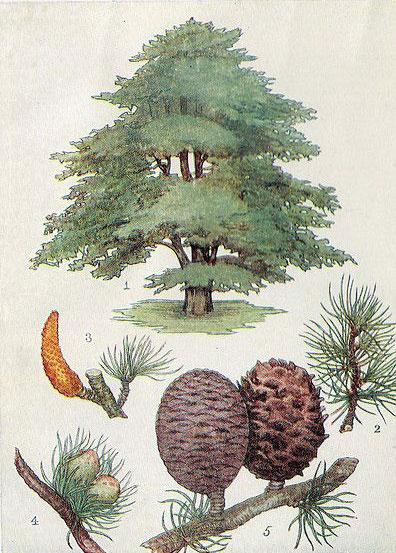 Plant-illustration-of-deodar