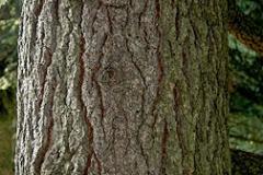 Bark-of-Deodar-tree