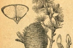 Sketch-of-Deodar