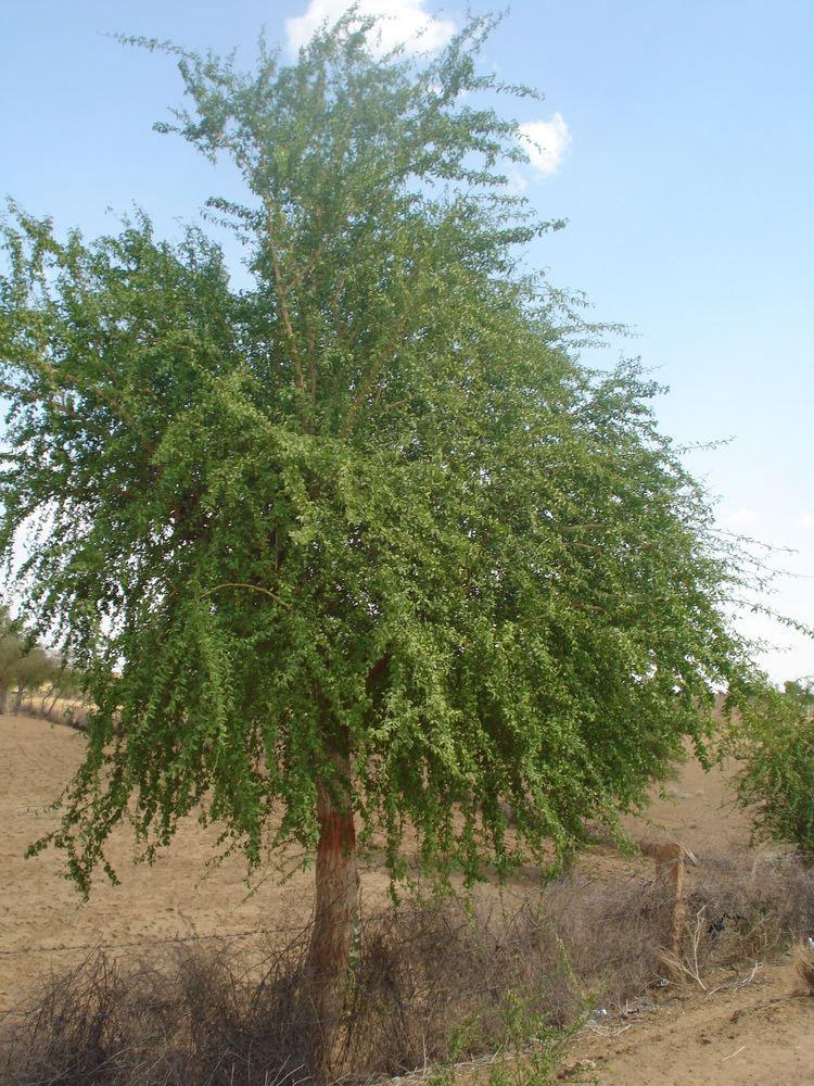 Desert-Date-Tree